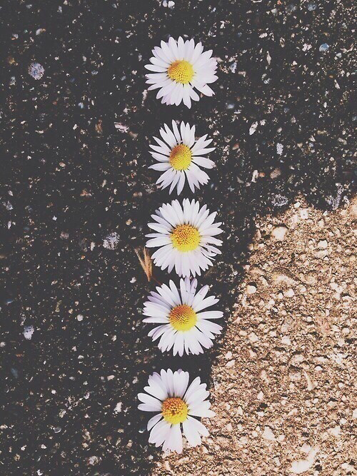 daisy flowers wallpaper tumblr