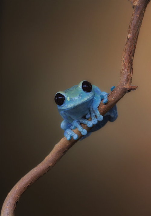 Blue frog of happiness?