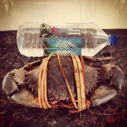 denisereyes23:  One mother of a crab! #FijiWater #crab #comparison #huge #woah