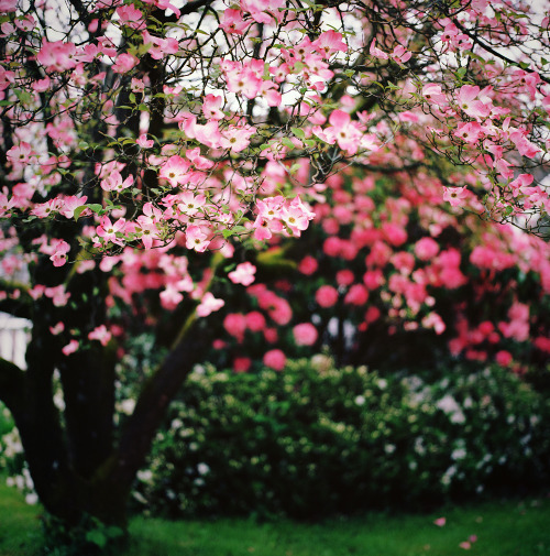 spiritguide:  dogwood: in focus (by manyfires)