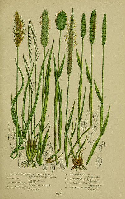 jomobimo:  Plate 265, The flowering plants, grasses, sedges, & ferns of Great Britain. London,F. Warne,1905..