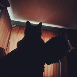 staring me down whilr perched on daddy. feed me assholes #Kitty #shadow #morning #cat  #catshadow