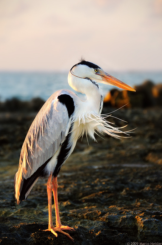 fairy-wren:  Grey Heron. Photo by R3novatio