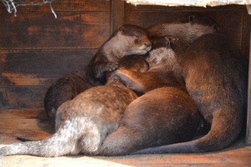 dailyotter:  Otters Pile Up in a Quiet Corner for a Nap Via tomosuke214