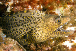 Jewel moray (Muraena lentiginosa) (Source)