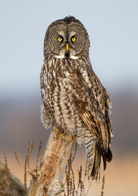 funnywildlife:  Golden Hour by Bill McMullen on Flickr.#owl#bird#photo
