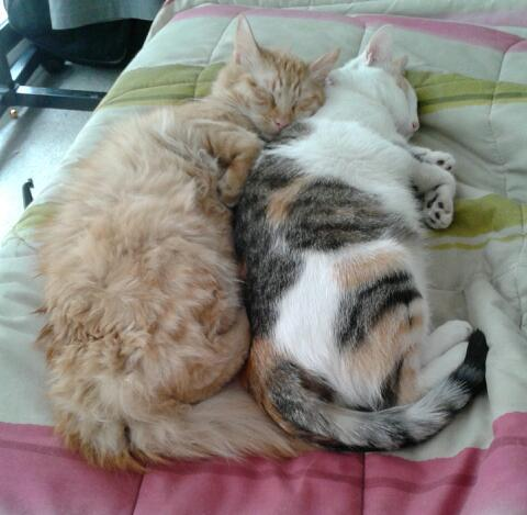 fuckyeahfelines:  Two of my three cats, Kiiro and Mitsu. They love each other.