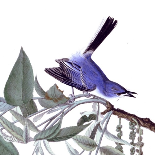 Detail of Plate 84 of The Birds of America by John Audubon, the Blue-grey Fly-catcher, now more commonly called the Blue-grey Gnat-catcher.