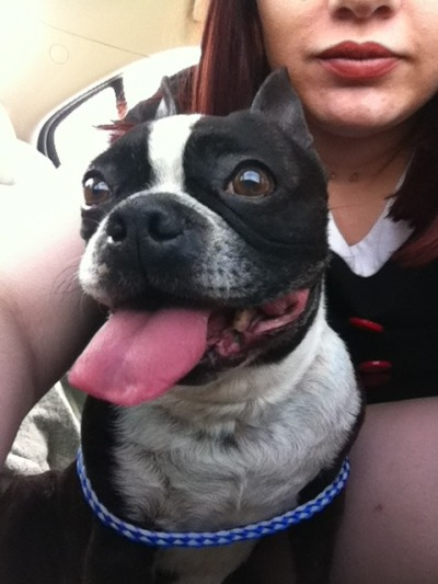 The newest member of the family.  He's an eight year old Boston (mixed). The owners gave him up to the Humane Society, and his name is Bozo. But I'm thinking Bowie is better.