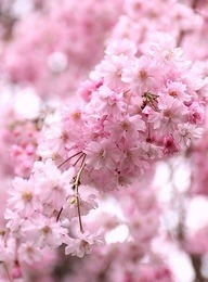 flowersgardenlove:  八重紅枝垂 (Prunus pendul Flowers Garden Love