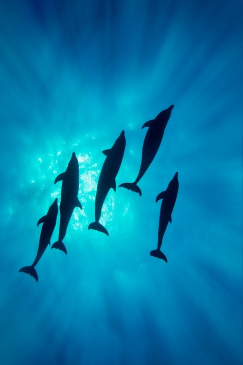 acidus:  Pod of Bottle-nose Dolphins
