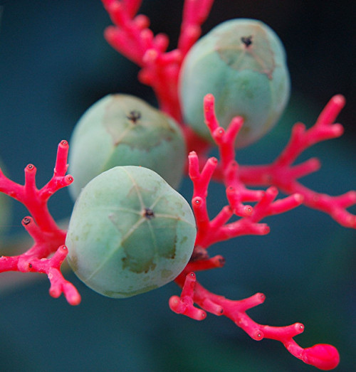 atfullthrottle:  Astounding colors of glowing Coral Plant and its wondrous turquoise seeds Jatropha multifidaCommon Names: Coral Plant, Physic Nut, Guatemala RhubarbFamily: Euphorbiaceae (Spurge Family) (by jungle mama)