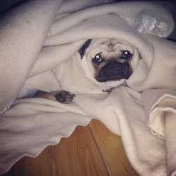 harrythepug:  #pug in a blanket #dog #cute #lazy #sleepy  THE BLANKETS MATCH HIS FACE!