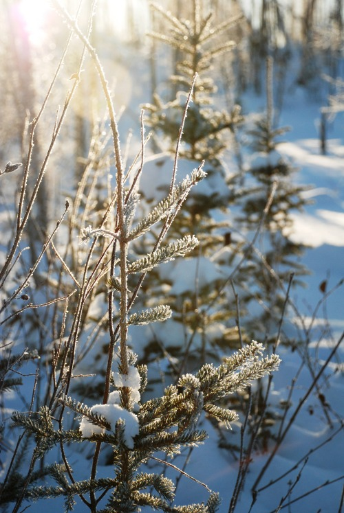 jeanpolfus:  Frost and sunlight on spruce near Tulit'a, Northwest Territories. February 14th, 2013.