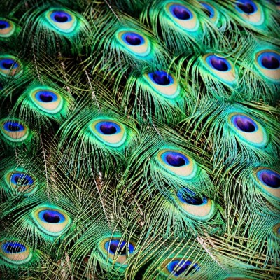 Feathers #peacock #dslr #canon #t1i #canont1i #feathers #love #hd #hidef #peacockfeathers #instagood #photooftheday #patterns (at Grounds for Sculpture)