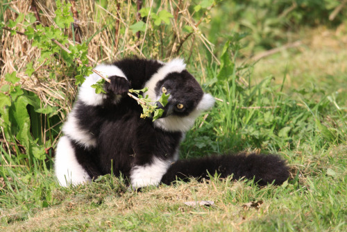 animals-animals-animals:  Ruffed Lemurs (by cookipediachef)
