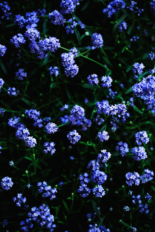 lavender garden plants floral photography photography stilllife purple visual art floral art flower photography