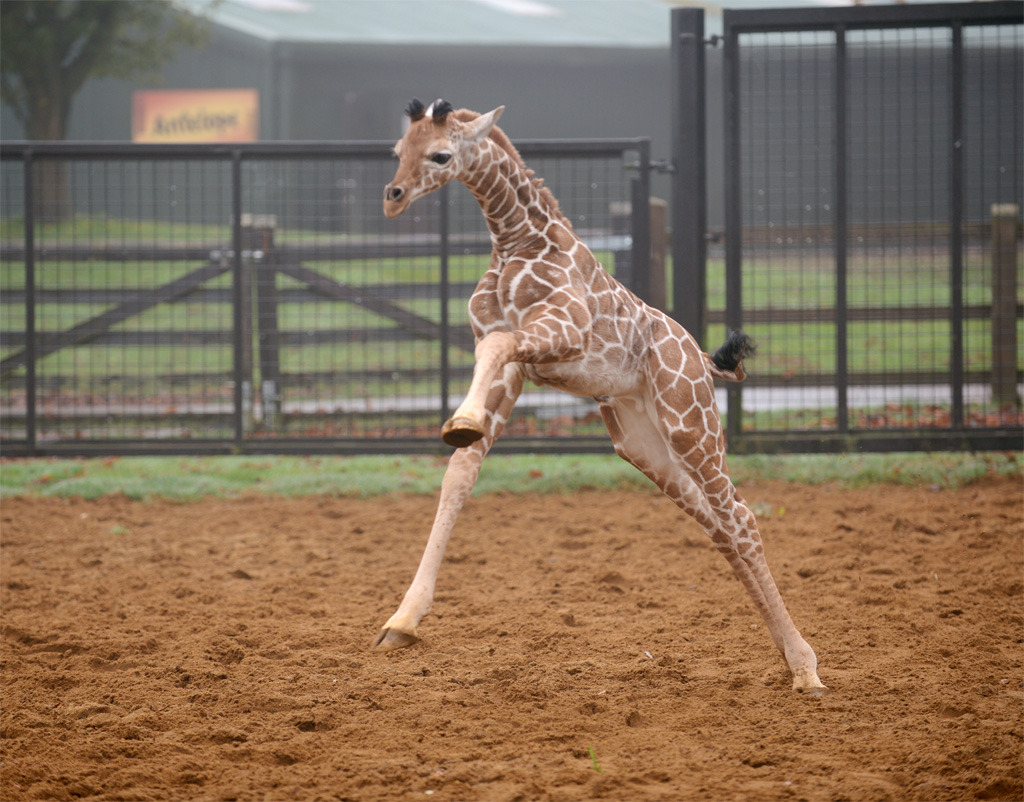 Whipsnade Zoo had a very early Christmas present when a bundle of legs and neck was born. On his first glimpse of the real world, the giraffe calf hurtled round his enclosure with delight. Picture taken by Jane Russell