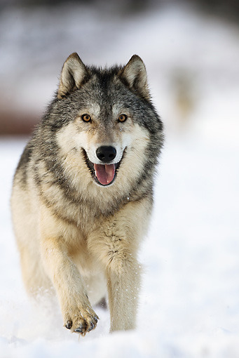 wolveswolves:  Gray wolf running through the snow by Joe & Mary Ann McDonald