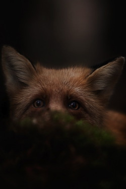 Fox, Woods by Kai Fagerström