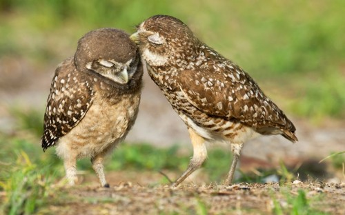 HOOT AND HEAVY  A pair of burrowing owls are seen canoodling in southern Florida.  (Photo: Judith Malloch / Barcroft Media via The Telegrah)