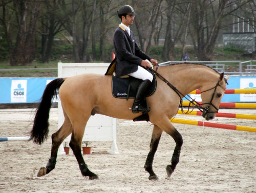dirty-halfchaps:  hunterjumpersismylife:  stirrups-n-bits:  equus—caballus:  Yellow Man   He is gorgeous  reblogging because this horse is just so fucking perfect