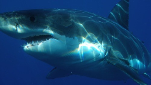 California moves to protect great white sharks      Regulators vote to consider listing California's great white sharks as an endangered species, granting them temporary protection in the meantime.