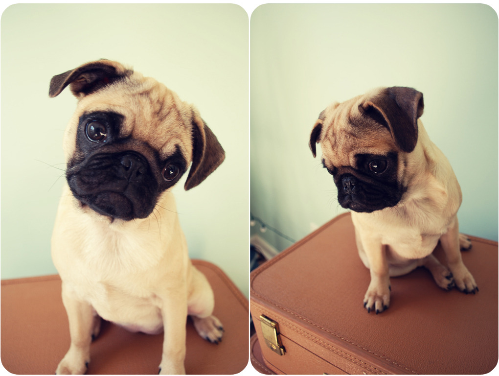 love-for-pugs:  let me have this beautiful baby