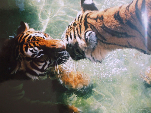 greekg0ds:  tigers Florida  by debenewgirl