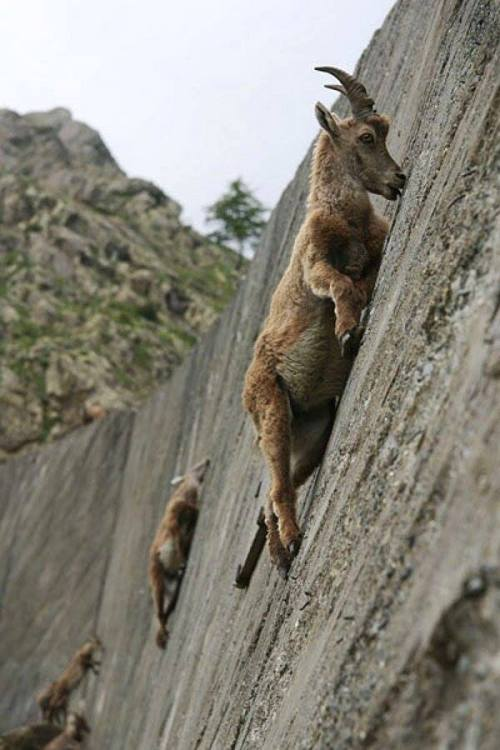 Mountain goats demonstrating their extraordinary aptitude for climbing as they lick salt from this wall of limestone. Image via Milky way scientists