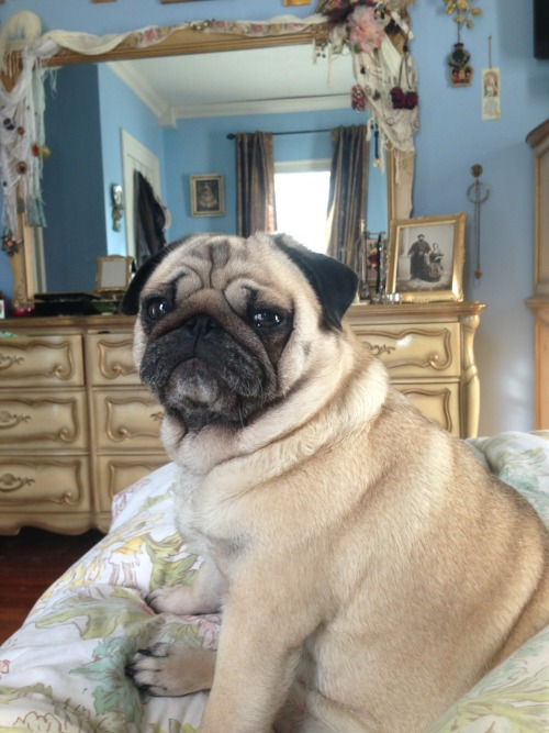 "pugswhisper:  ""She's a great beauty and a great love."" -I declare this phrase at least 30 times a day to this pug.  I need a pug myself!!"