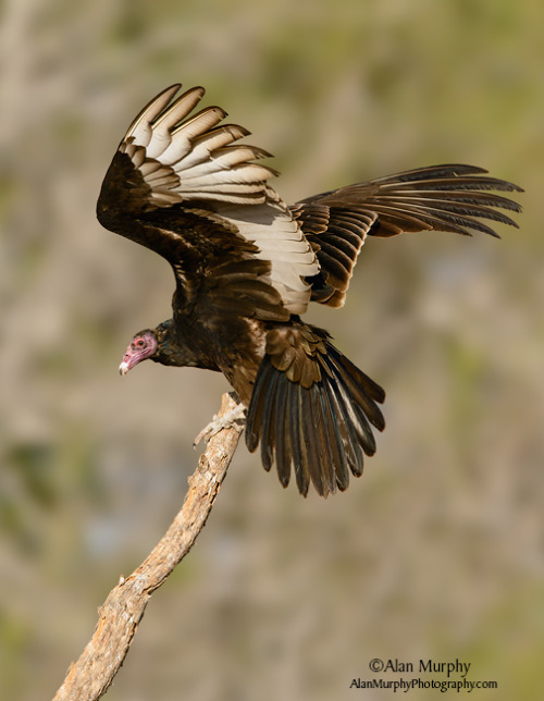 emuwren:  Turkey Vulture - Cathartes aura, ranges from southern Canada to the southernmost tip of South America. It is a scavenger and feeds almost exclusively on carrion.