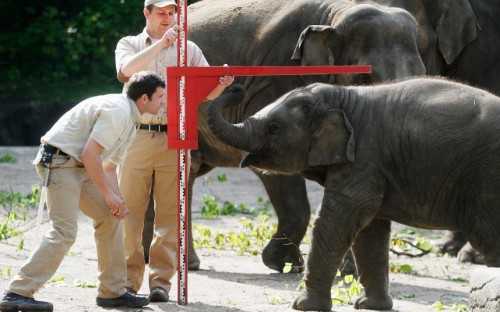 allcreatures:   An Asian elephant is measured by zookeepers during a baby animals inventory at Hagenbeck zoo  Picture: Getty Images (via Animal photos of the week: 17 May 2013 - Telegraph)