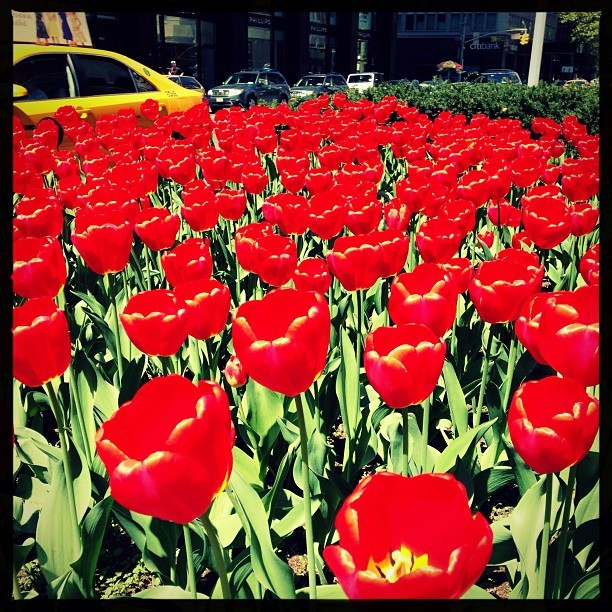 Park Avenue Tulips (Are wealthier than your tulips)