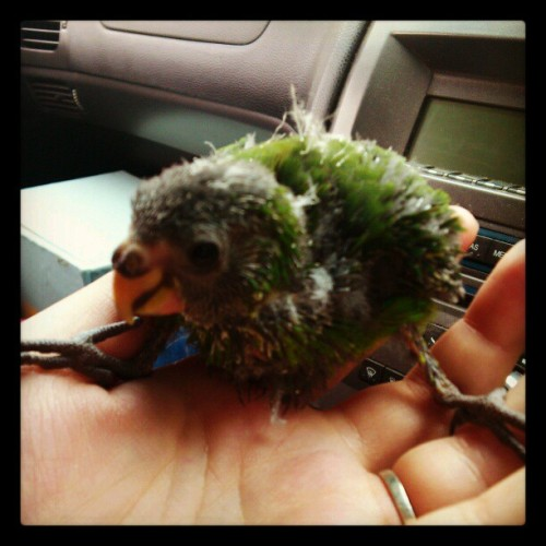 williamthebloody96:  Little kaki :)  #kakariki #birdy #josieshand