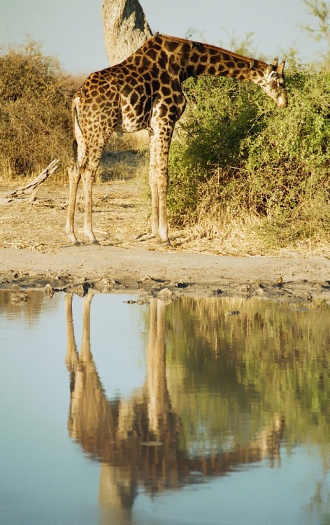 Giraffe Reflection | by Oliver Delaere