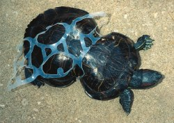 jasmine-blu:  This is Peanut the turtle, shortly after being found in Missouri in 1993. She was taken to to a zoo in St. Louis where the six-pack ring was removed.It seems that she was trapped in the plastic ring as a young turtle and was unable to free herself. Subsequently her shell moulded itself to the plastic ring and she grew in the strange shape you see here.Unfortunately the damage is permanent, but peanut is expected to live a long life and today she serves as a mascot for the fight against beach littering.Please, always remember to clean up after yourself at the beach.