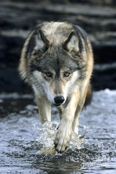 wolves-only:  By Chris Scroggins