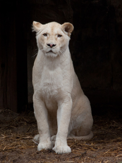 earth-song:  A young white lioness waking up from her after-snooze/pre-doze sleep in Ouwehands Zoo, the Netherlands.