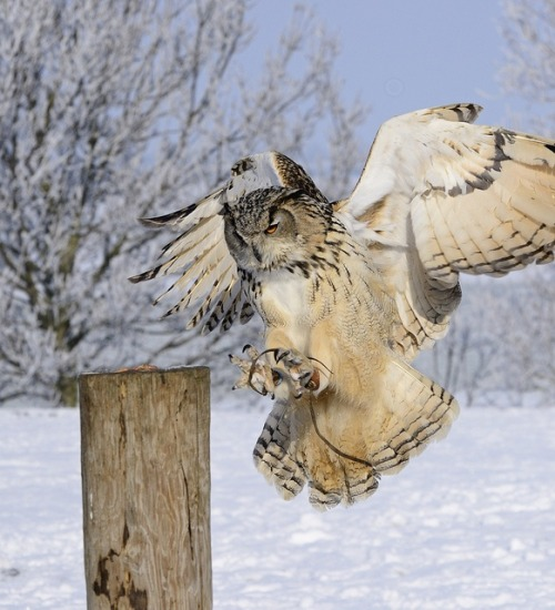 endgame33:  Eagle Owl
