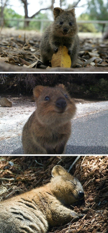 It's called a Quokka, lives in Australia, is endangered, and considered one of the friendliest, happiest animals on earth. - Imgur