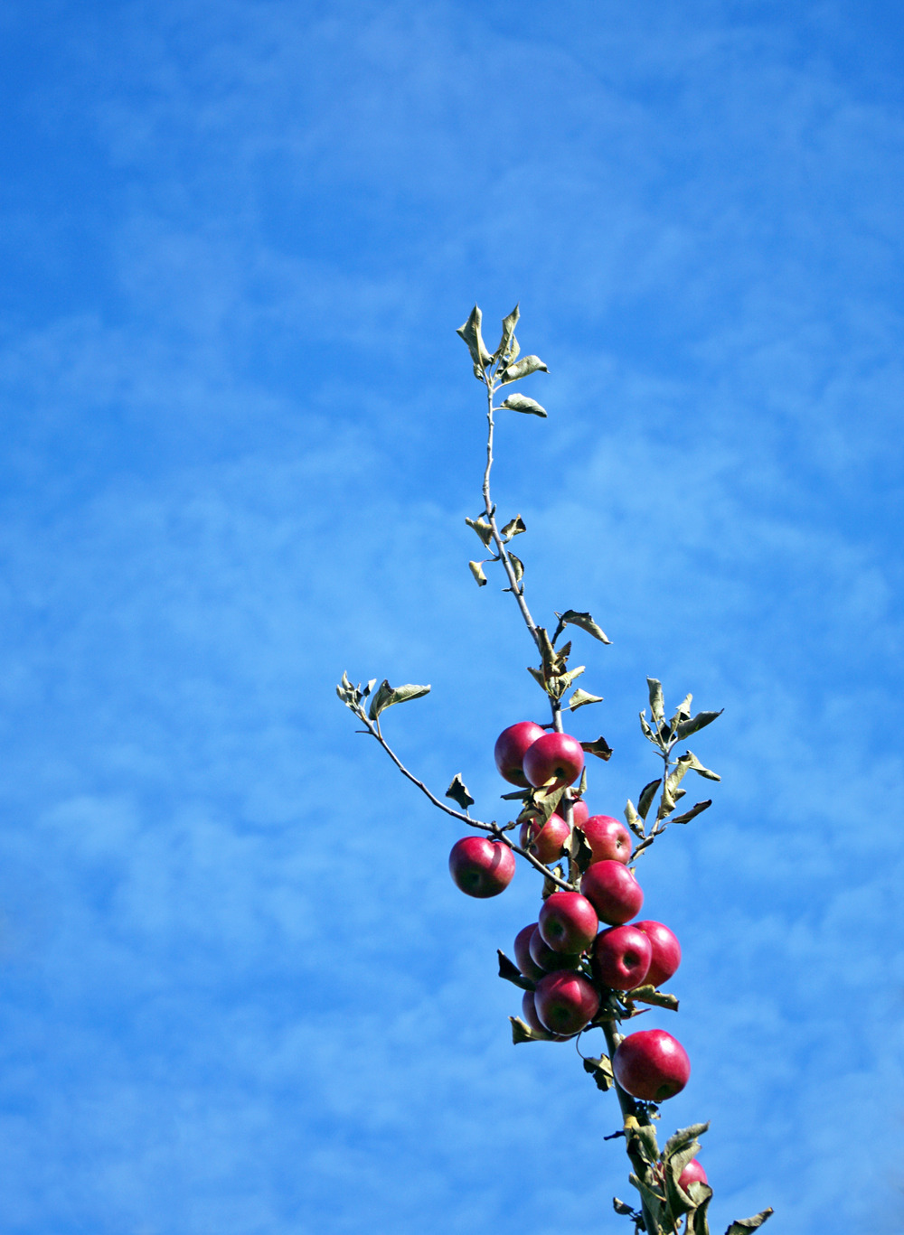 Apple orchard. A branch with dying leaves stretches toward a rich blue sky at the end of the harvest season. // Wisconsin.