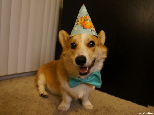 corgnelius:  Corgnelius is very excited about his b-day festivities tomorrow! (And yes, he's wearing a birthday hat of a corgi wearing a birthday hat.)