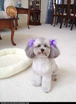My toy Poodle Lexi Isabella. Aren't I just so cute and sweet! Submitted by Sheila M Original Article