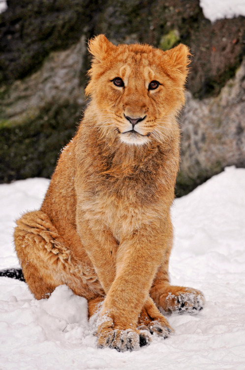 ethereo:  Posing in the snow II (by Tambako the Jaguar)