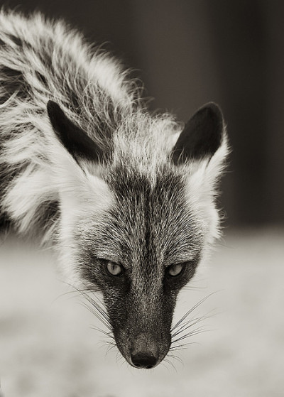 funkysafari:  Silver Fox by Dan Newcomb Photography  This would be an awesome realism #tattoo
