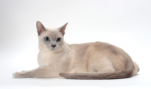 The Tonkinese won…the eyes are just so Clyde.  Now I have to figure out how to write this story believably.  Of course its a story about talking animals so, you know, I can take a little license.  I've already started it.  Cross your fingers it goes well.  I have so much of the conversation in my head, I need to translate it to paper.