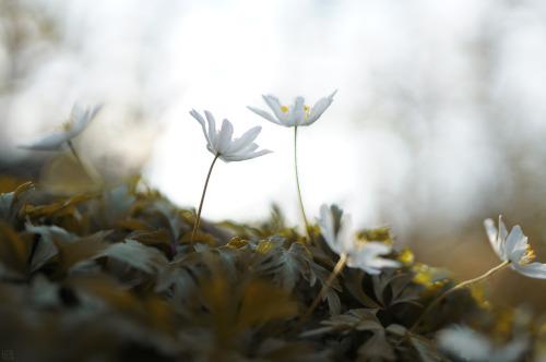 Summiteer #photographers on tumblr #anemone nemorosa#white#spring#light