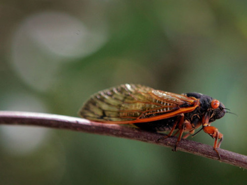 "nationalpost:  U.S. braces for 'Swarmageddon' as billions of cicadas expected to emerge after 17 years undergroundAmerica's East Coast is bracing for a cacophonous summer as hordes of flying insects emerge for a once-in-a-generation phenomenon popularly known as ""Swarmageddon"".After 17 years underground growing from larva to bug, billions of cicadas are about to revel in the final four climactic weeks of their unusual life cycle.At some point over the next few weeks, when the temperature at eight feet below ground reaches a steady 64F, the nymphs, as juvenile cicadas are called, will scramble out of the ground. They will then embark on their noisy, short-lived adult life in pursuit of a mate. Males flex their tymbals, drum-like organs in their abdomens, making a distinctive clicking sound. Female cicadas answer by snapping their wings. (Scott Olson/Getty Images File)  things like this are why the west coast is the best coast….unless you're an entomologist."