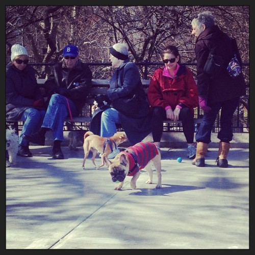 French bulldog spotting at Carl Schurz (at Carl Schurz Dog Run)